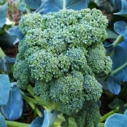 Calabrese Italian Broccoli - Green Sprouting Natalino - Appx 600 seeds